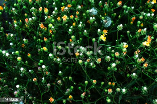 istock Gentle closed buds Tragopogon pratensis. Inflorescences are similar to dandelions. Summer plants. An unusually beautiful background. 1264530814