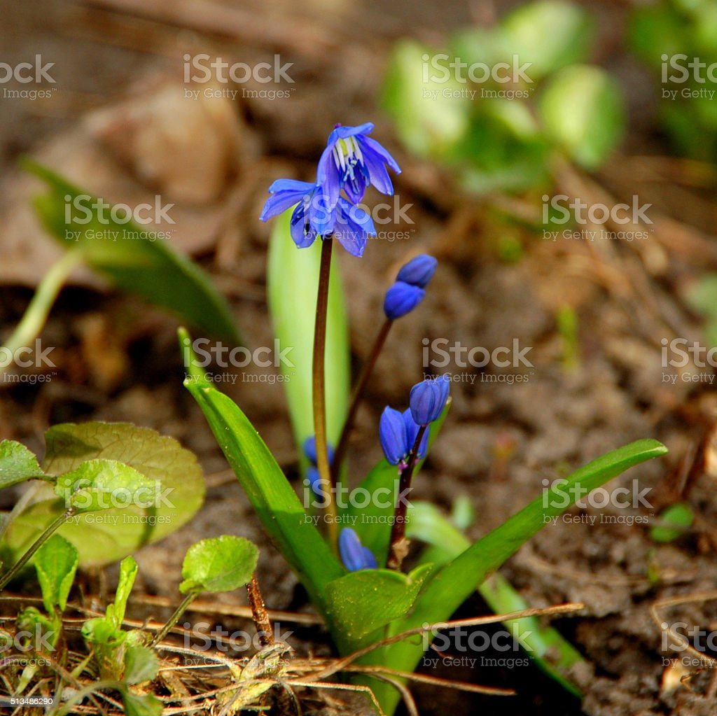 Gentle delightful spring flower - blue squill in early spring stock photo
