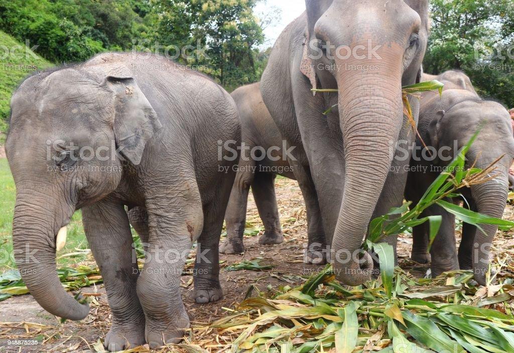 Gentle Giants - Chiang Mai stock photo