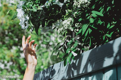 Gentle girl hand with branches of flowering rowan and apple tree behind blue wooden fence in sunny day. Scenic rustic green background with bloom white flowers closeup. Rich vegetations in spring time