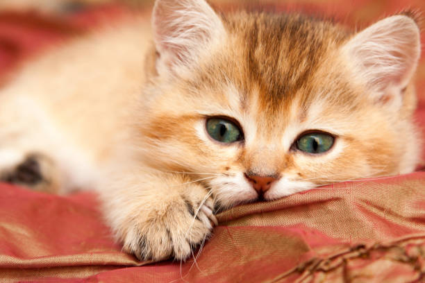 Cтоковое фото Gentle Golden British kitten resting lying on the bed