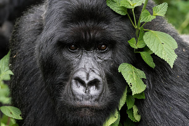 Gentle gorilla picture id607497928?b=1&k=6&m=607497928&s=612x612&w=0&h=m4w 0j3sfnj2ehzgc4ddq22zu7u fahtc zvfdkpryc=