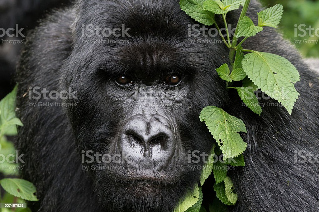 Gentle Gorilla stock photo