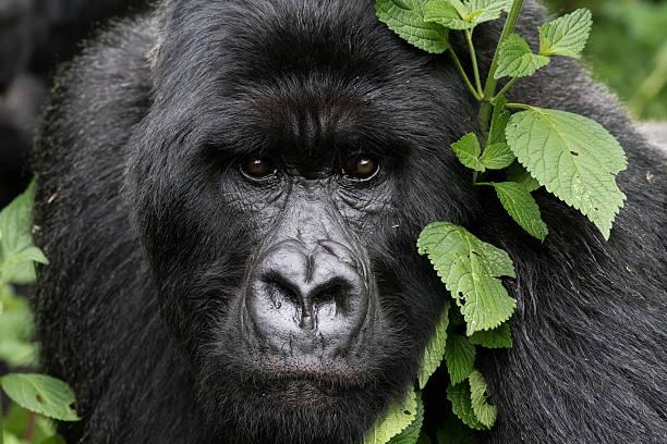gentle gorilla - gorila fotografías e imágenes de stock