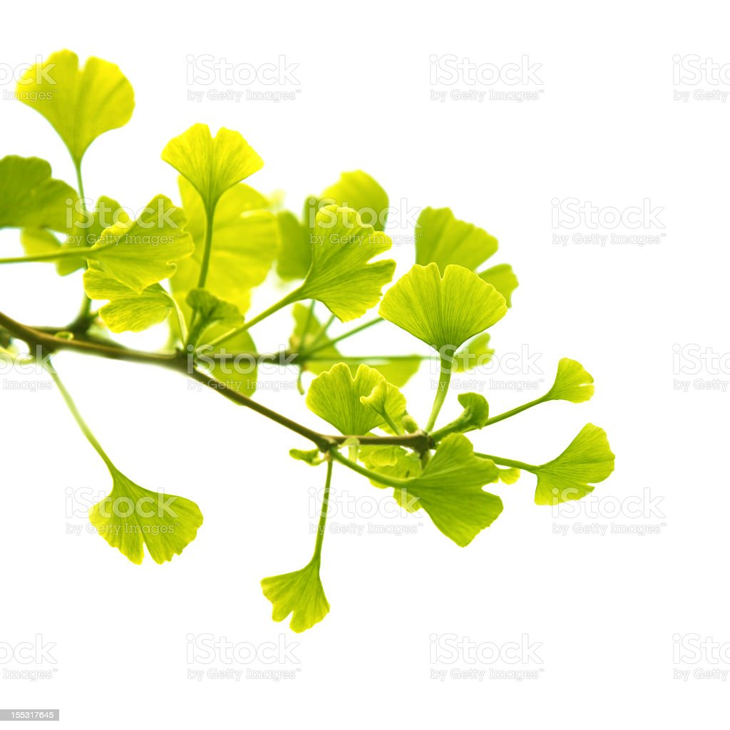 Gentle green leaves of ginkgo biloba over a white background stock photo