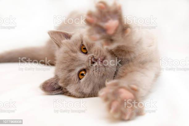 Gentle kitten stretches lying on a light background picture id1077968938?b=1&k=6&m=1077968938&s=612x612&h=ogcylgzco0pr6 spixnybpxglaxe9k svocl9f3jpnk=