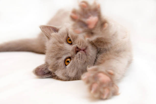 Gentle kitten stretches lying on a light background stock photo
