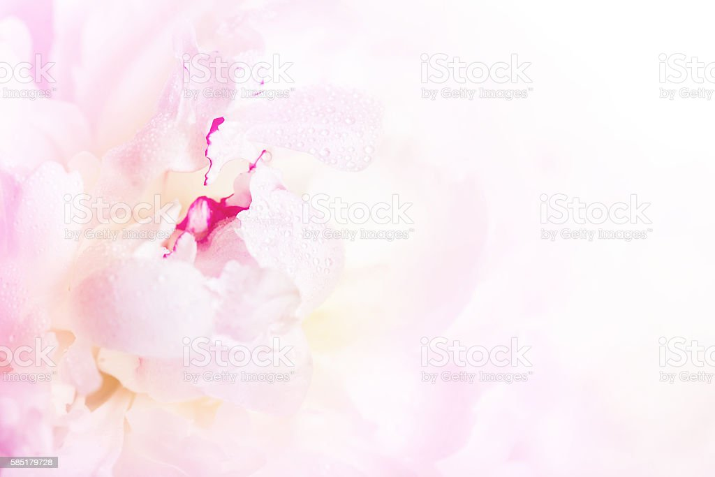 Gentle pink peony flower close-up stock photo