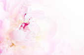 Gentle pink peony flower close-up