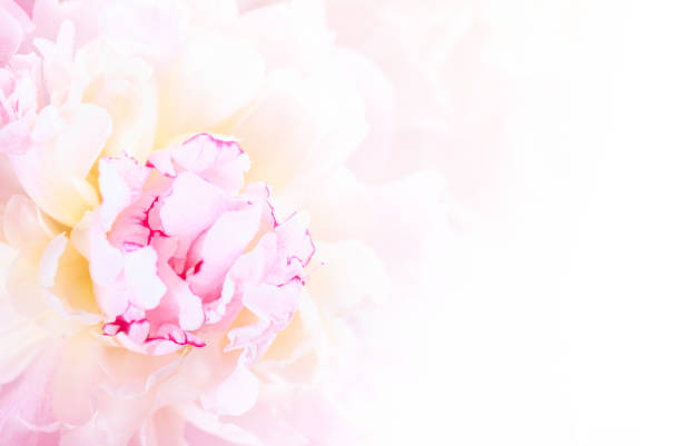 sanftes rosa pfingstrose blüte nahaufnahme - pfingstrosen pflege stock-fotos und bilder