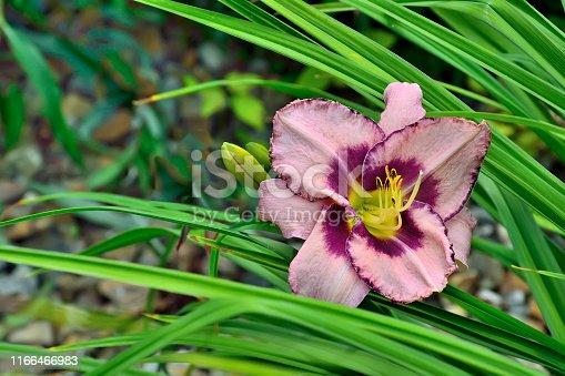 Beautiful blossoming pink with purple Day Lily or Hemerocallis close up in the summer garden. Delicate flower with leaves. Gardening, floriculture and landscape design concept. Beauty in nature
