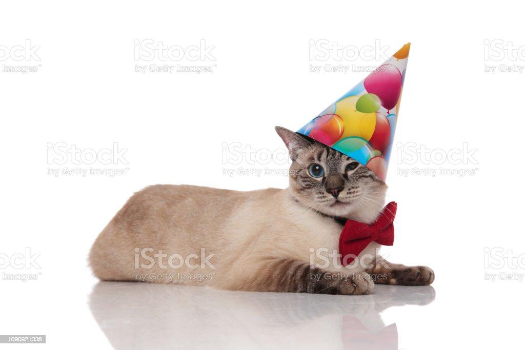 Gentleman Burmese Cat Lying And Wearing A Birthday Hat