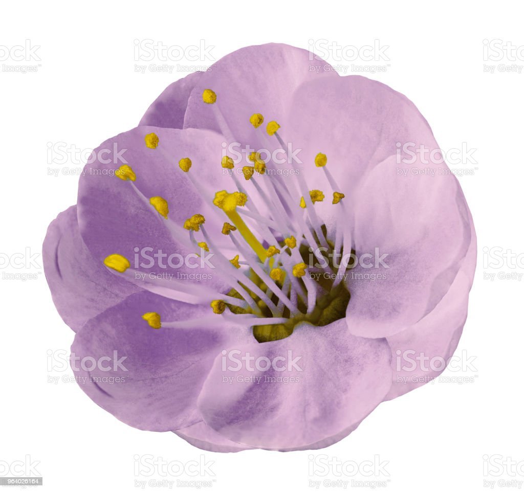Gently light violet  apple-tree flower isolated on white background with clipping path without shadows. Close-up. For design. Nature. - Royalty-free Apricot Stock Photo