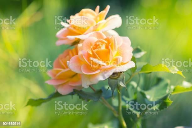 Gently yellow roses on a blurred background picture id904669914?b=1&k=6&m=904669914&s=612x612&h=lrjvc9 jfmigyjgjkcqhrjea0nam7u4j0fjpj3ygwvo=