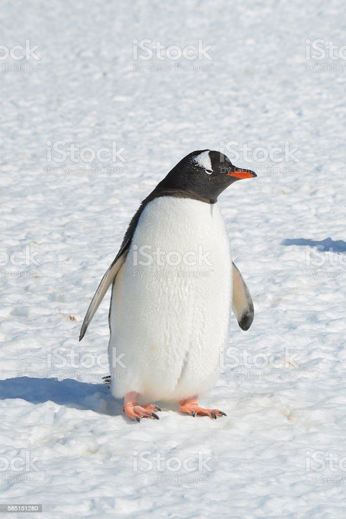 A Gentoo penguin stands in the sun as part of the world\'s most...