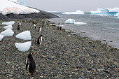 Antarctic scenery with the Gentoo penguin (Pygoscelis papua) in Cuverville Island