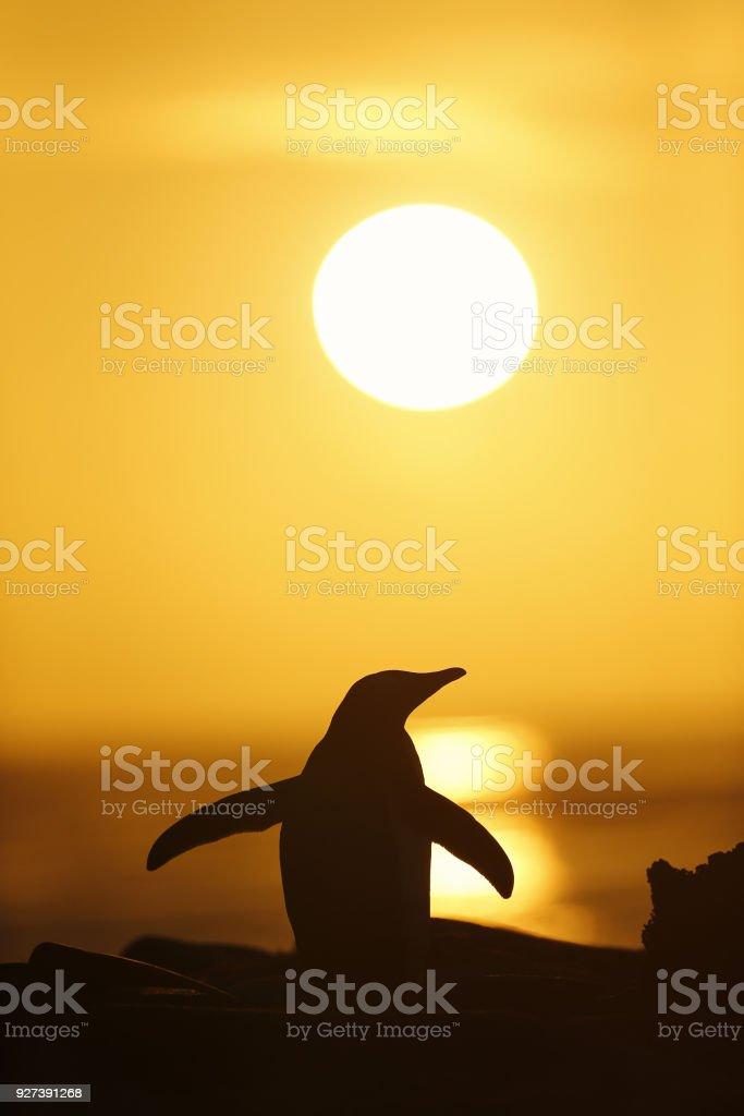 Gentoo penguin at sunset, Saunders, Falkland islands. stock photo