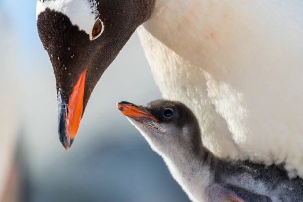 Gentoo penguin chick and parent Gentoo penguin (Pygoscelis papua) chick and parent at Petermann Island, Antarctic Peninsula animal family stock pictures, royalty-free photos & images