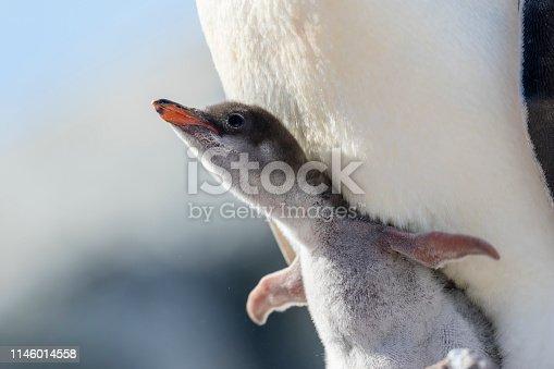 Gentoo penguin (Pygoscelis papua) chick and parent at Petermann Island, Antarctic Peninsula