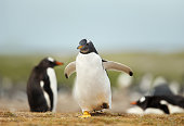 Couple of female European photographers shooting Jackass two penguins on a rock in South Africa