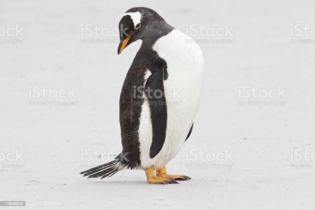 Gentoo penguin close up, Falkland Islands royalty-free stock photo