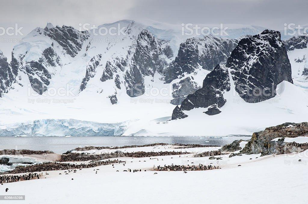 Gentoo Penguin colonies on Cuverville Island Antarctica stock photo