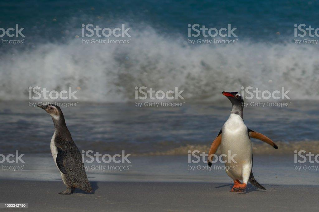 Pinguim-gentoo vem para terra - foto de acervo