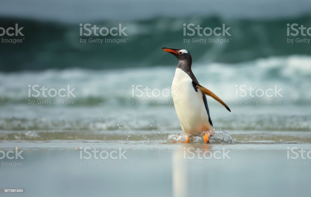 Gentoo penguin coming from sea on a sandy ocean coast stock photo