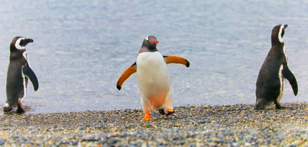 Gentoo penguin group dancing along on a secluded beach tierra del picture id905788504?b=1&k=6&m=905788504&s=612x612&w=0&h=mvithpkdivak0imyaw8hun5rixxkn2q9nsaero0kd8m=
