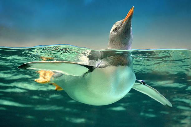 gentoo penguin in water - pinguins swimming stockfoto's en -beelden