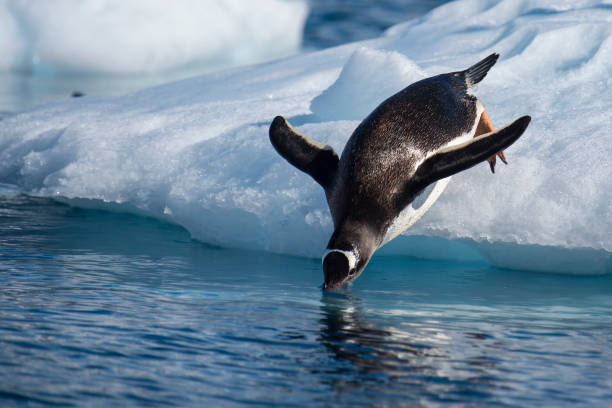 Gentoo Penguin jump in water stock photo