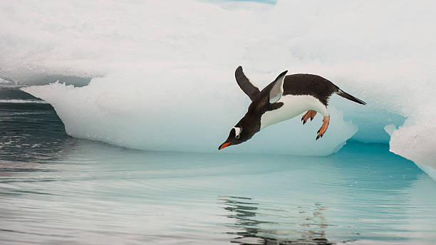 Gentoo Penguin jumping in the water stock photo
