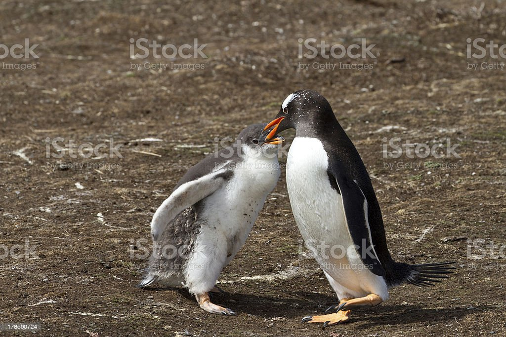 Gentoo penguin mother is feeding her chick stock photo