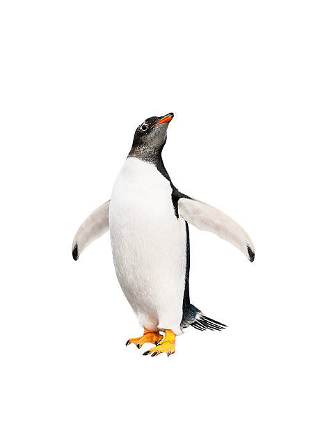 gentoo penguin over white background stock photo