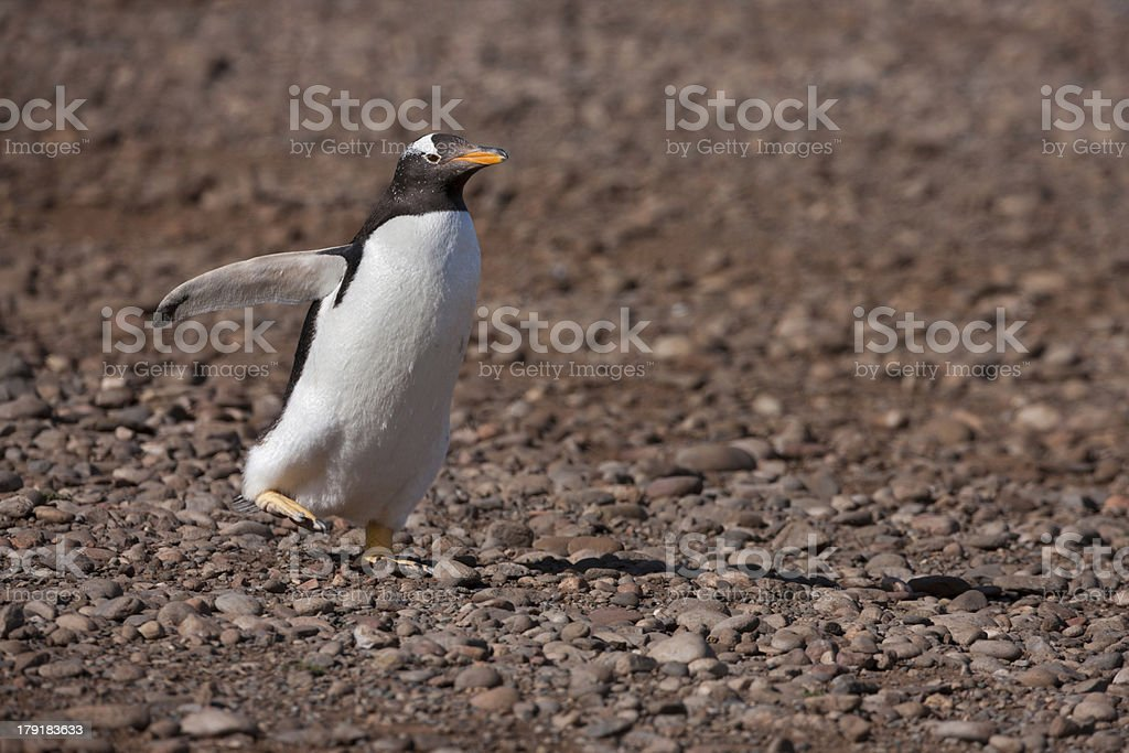 Gentoo Penguin royalty-free stock photo