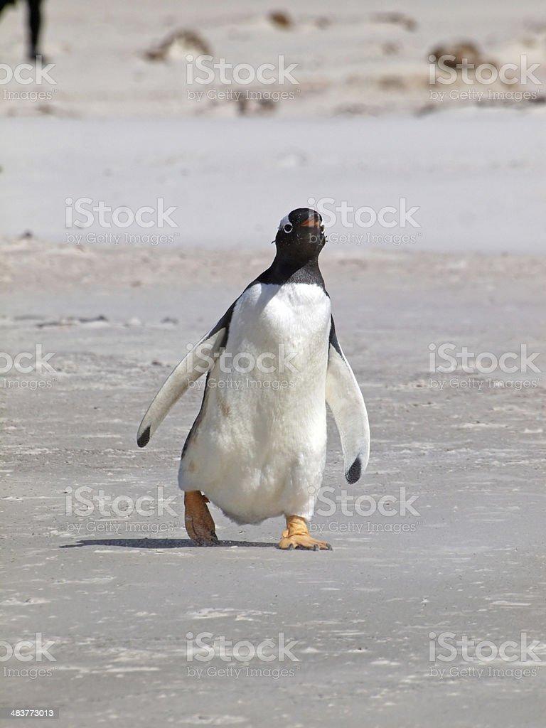 Gentoo Penguin royalty-free stock photo