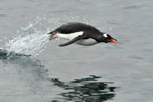 ezelspinguïn - pinguins swimming stockfoto's en -beelden