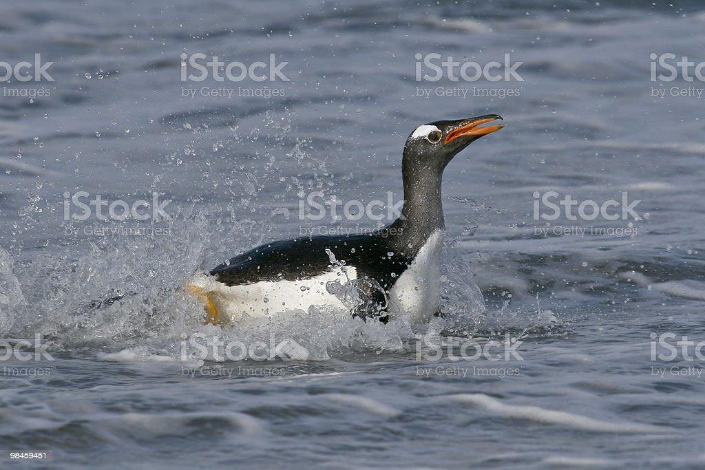Gentoo penguin (Pygoscelis papua) royalty-free stock photo