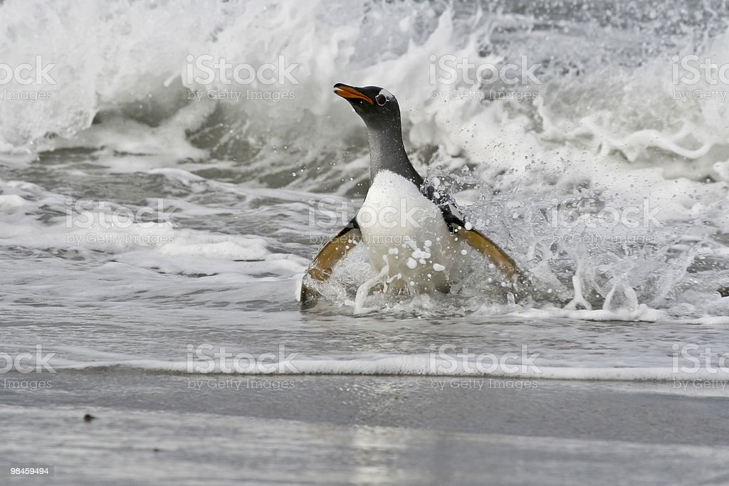 Gentoo penguin (Pygoscelis papua) royalty-free stock photo
