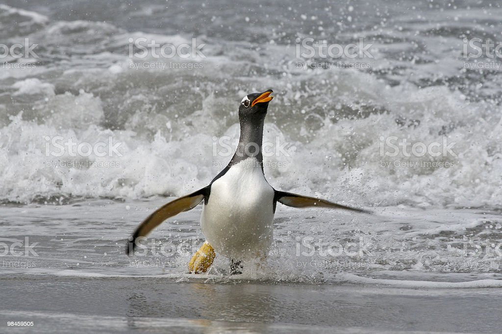 Pinguino papua (Pygoscelis papua foto stock royalty-free