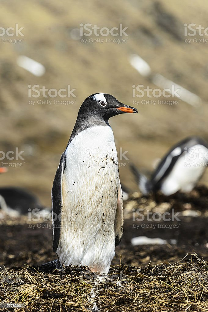 Gentoo penguin poses for the camera. royalty-free stock photo