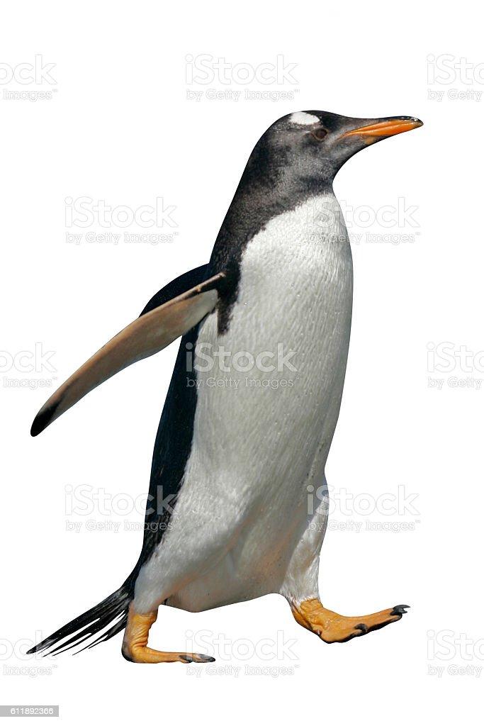 Gentoo penguin, Pygoscelis papua stock photo