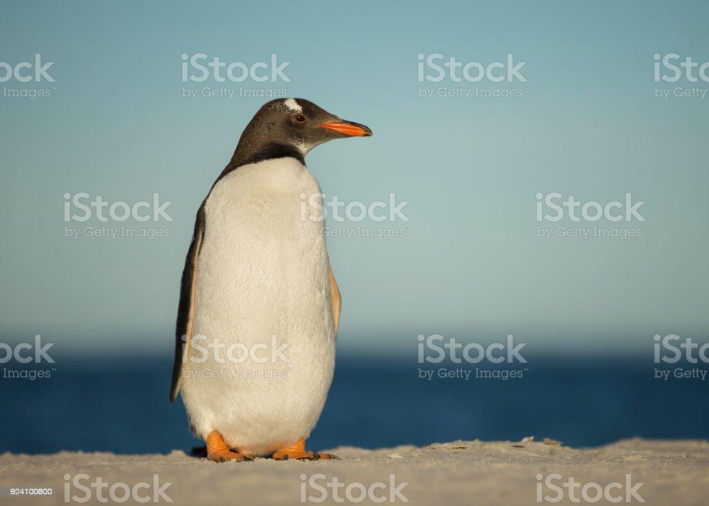 Gentoo penguin standing on a sandy beach stock photo