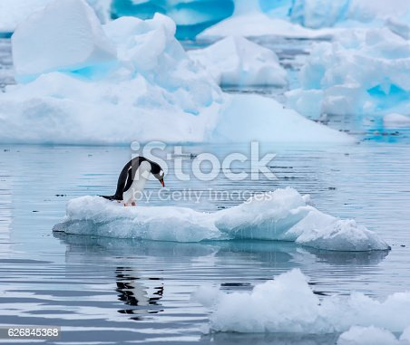 A gentoo penguin standing on an ice floe with its head leaning down and reflected in the water at Cuverville Island Antarctica