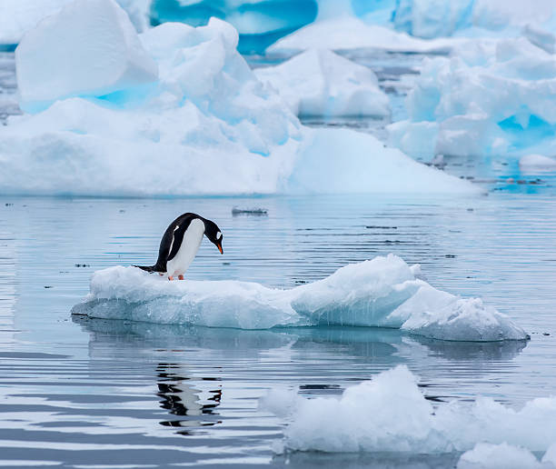 Gentoo penguin standing on an ice floe in Antarctica A gentoo penguin standing on an ice floe with its head leaning down and reflected in the water at Cuverville Island Antarctica ice floe stock pictures, royalty-free photos & images