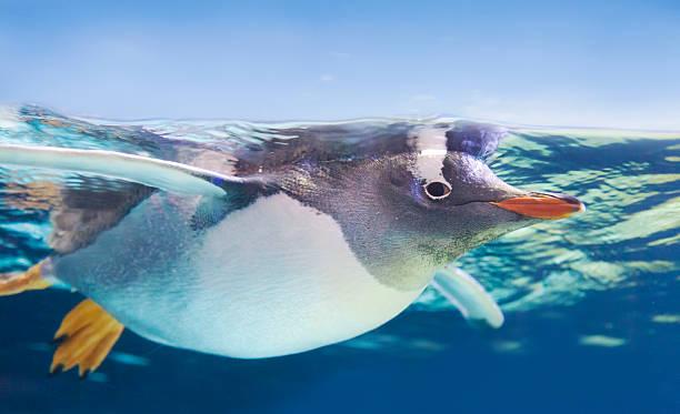 gentoo penguin swimming underwater - pinguins swimming stockfoto's en -beelden