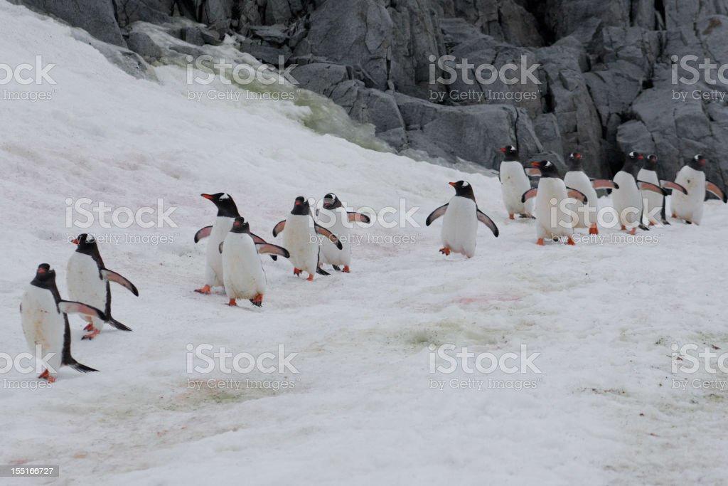 Gentoo penguin waddle royalty-free stock photo