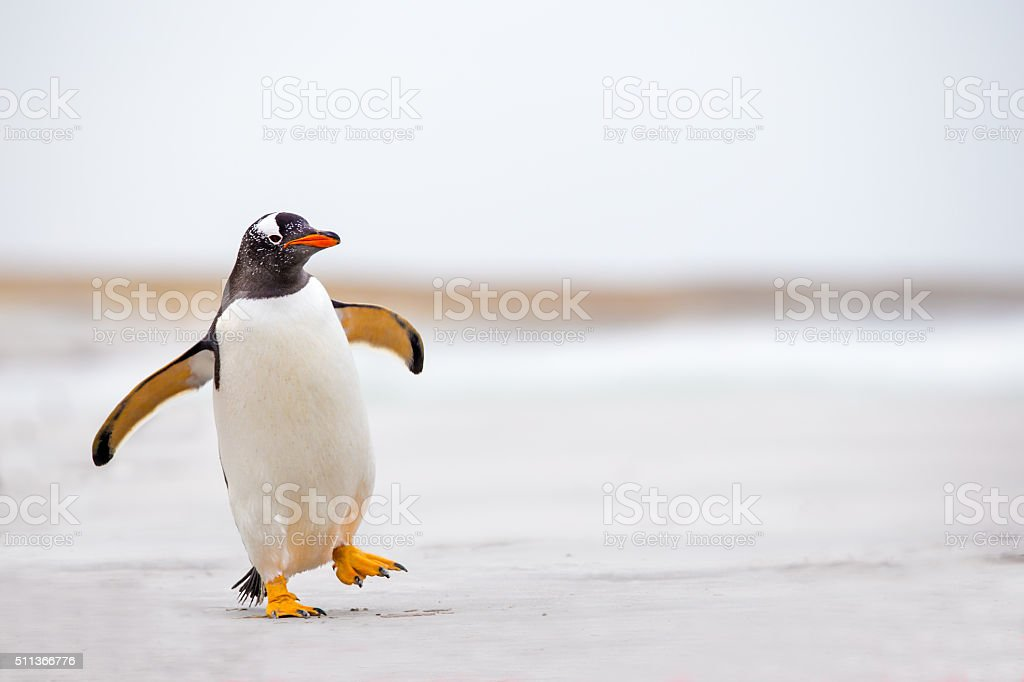 Gentoo Penguin waddling along on a white sand beach.