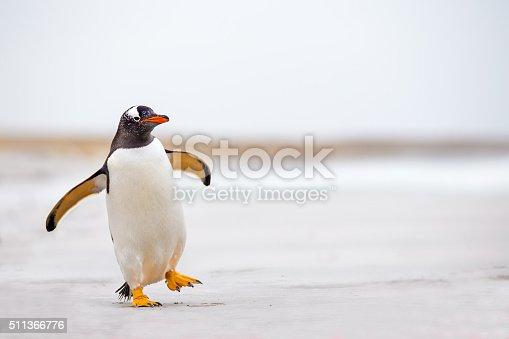 Gentoo Penguin (Pygoscelis papua) waddling along on a white sand beach.