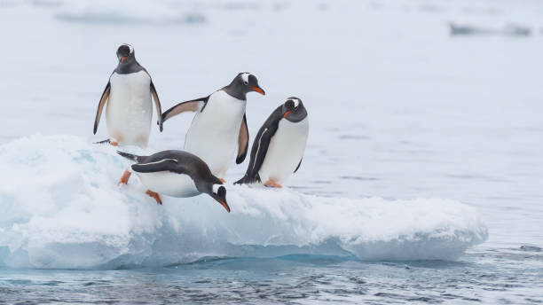 Gentoo Penguin walk on the snow stock photo